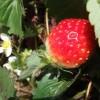 秋のイチゴ