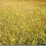 稲刈り見習い