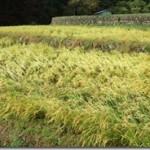 稲刈り2011