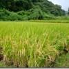 稲刈り2014