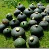 カボチャ豊作