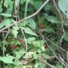 木苺(ラズベリー)のジャム