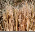 保護中: 麦の収穫